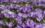 Crocuses herald an end to Polio